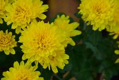 Beautiful colorful autumn flower in my garden stock image