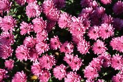 Beautiful colorful autumn flower in my garden stock photos