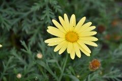 Very pretty colorfu summer flower in my gazanias in the sunshine royalty free stock photo
