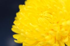 Beautiful icolorful autumn flower in the sunshine royalty free stock photo