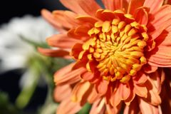 Beautiful icolorful autumn flower in the sunshine stock photo