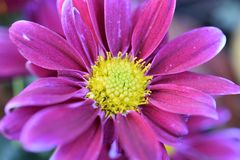 Beautiful colorful autumn flower in the sunshine royalty free stock photos