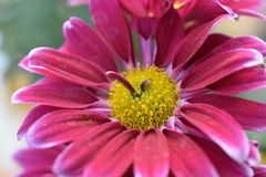 Beautiful colorful autumn flower in the sunshine royalty free stock image