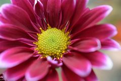 Nice colorful autumn flowers close up royalty free stock photography