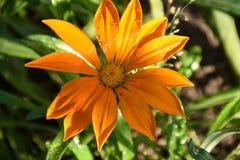 Beautiful colorful gazania in my garden stock photography