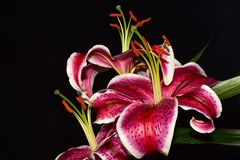 Very pretty colorful big lilly close up royalty free stock photos