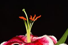 Very pretty colorful big lilly close up stock photos