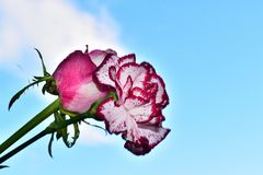 Very pretty colorful carnation and rose close up in the sunshine stock photography