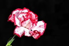 Very pretty colorful carnations close up in the sunshine stock photos