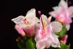 Very pretty colorful christmas cactus close up stock image