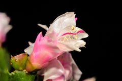 Very pretty colorful christmas cactus close up royalty free stock photos
