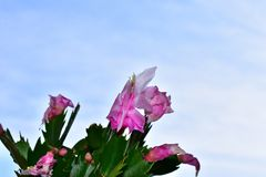 Very pretty colorful christmas cactus in the sunshine royalty free stock photos