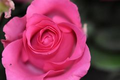Very nice colorful rose close up in the sunsahine royalty free stock photo