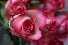 Very nice colorful rose close up in the sunsahine royalty free stock images