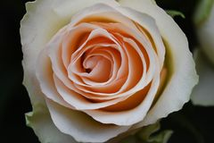 Very nice colorful roses close up in the sunsahine royalty free stock photography