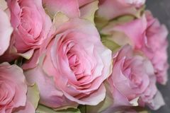 Very nice colorful roses close up in the sunsahine royalty free stock image