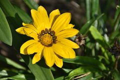 Beautiful colorful gazania close up in my garden stock photo