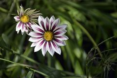 Nice colorful gazania in my garden royalty free stock photography