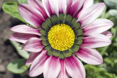 Very pretty colorful gazania in the sunshine Royalty Free Stock Photography