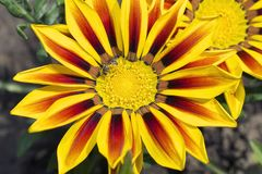 Very pretty colorful gazania in the sunshine stock photos