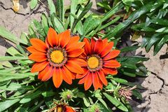 Beautiful colorful gazania in my garden royalty free stock images