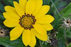 Beautiful colorful gazania in my garden Royalty Free Stock Photography