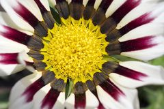 Very pretty colorful gazania in the sunshine Royalty Free Stock Photo