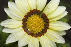Very pretty colorful gazania in the sunshine Stock Photography