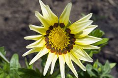 Very pretty colorful gazania in the sunshine Royalty Free Stock Images