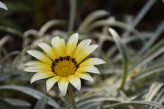 Very pretty colorful gazanias in the sunshine royalty free stock photography