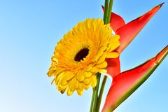 Beautiful colorful gerber with the exotic red flower royalty free stock photos