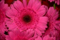 Nice colorful gerbers close up royalty free stock photos