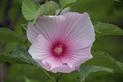 Beautiful colorful hibiscus close up in my garden stock photography