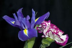 Very pretty colorful iris close up royalty free stock photography