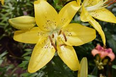 Very pretty colorful lilly close up in my garden Royalty Free Stock Image