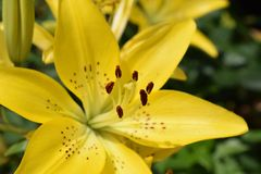 Very pretty lilly close up in my garden royalty free stock photos