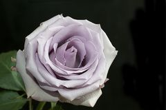 Very pretty colorful one rose close up Royalty Free Stock Photos