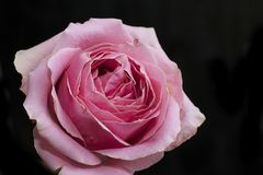 Very pretty colorful one rose close up stock photos