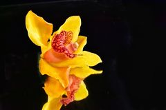 Beautiful colorful orchid close up on the mirror stock photos