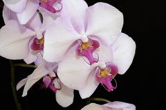 Beautiful orchid close up in my room Royalty Free Stock Photography