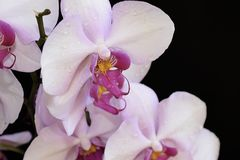 Beautiful orchid close up in my room Stock Images