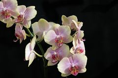 Very pretty colorful orchid close up Royalty Free Stock Image