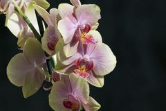 Very pretty colorful orchid close up Royalty Free Stock Photography