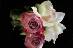 Beautiful colorful orchid and rose close up on the mirror stock images