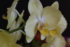 Beautiful orchids close up in my room Royalty Free Stock Photography