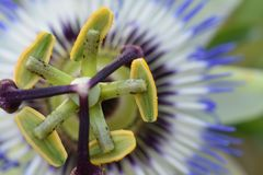Beautiful passiflora close up in my garden pond royalty free stock photo