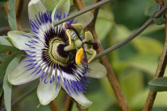 Beautiful colorful passiflora my garden royalty free stock images