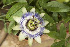 Very pretty colorful passiflora in my garden Royalty Free Stock Image