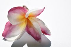 Very pretty plumeria close up in my garden stock photography