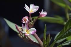 Very pretty plumeria close up in my garden stock photo
